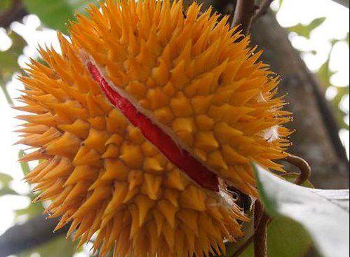 sầu riêng ruột đỏ - ảnh 1
