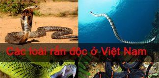 các loài rắn độc ở Việt Nam giết người chỉ trong tức khắc