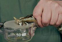 Các nhà khoa học trích xuất nọc độc để điều chế thuôc chống nọc độc rắn
