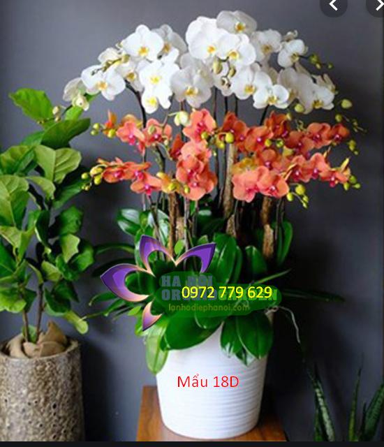 địa chỉ bán lan hồ điệp ở TP Hồ Chí Minh Chậu lan hồ điệp 18 cành mẫu 18D