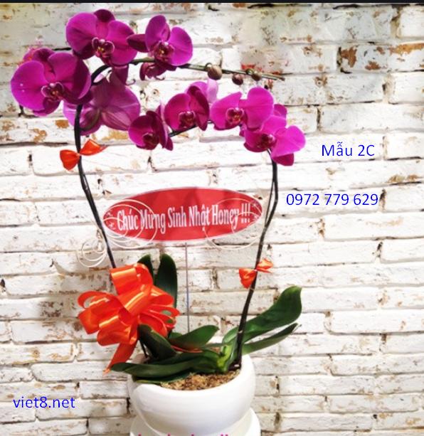 Chậu lan hồ điệp 2 cành Mẫu 2C địa chỉ bán lan hồ điệp ở TP Hồ Chí Minh