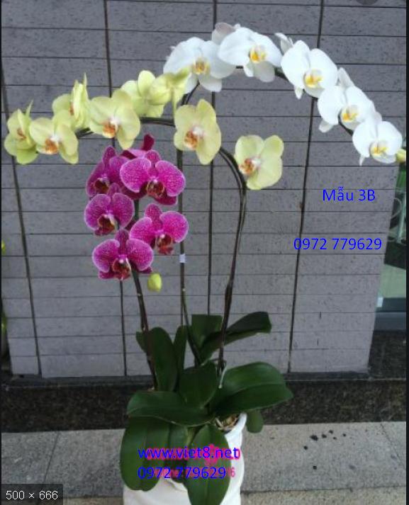 Chậu lan hồ điệp 3 cành Mẫu 3B, địa chỉ bán lan hồ điệp ở TP Hồ Chí Minh