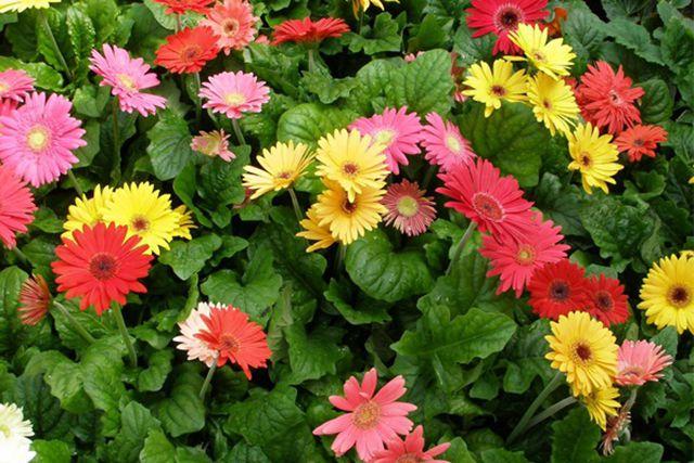 loài hoa tặng mẹ ý nghĩa nhất - ảnh 4